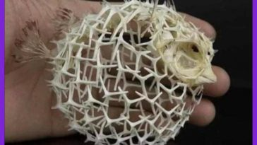 The skeleton of a Puffer Fish.